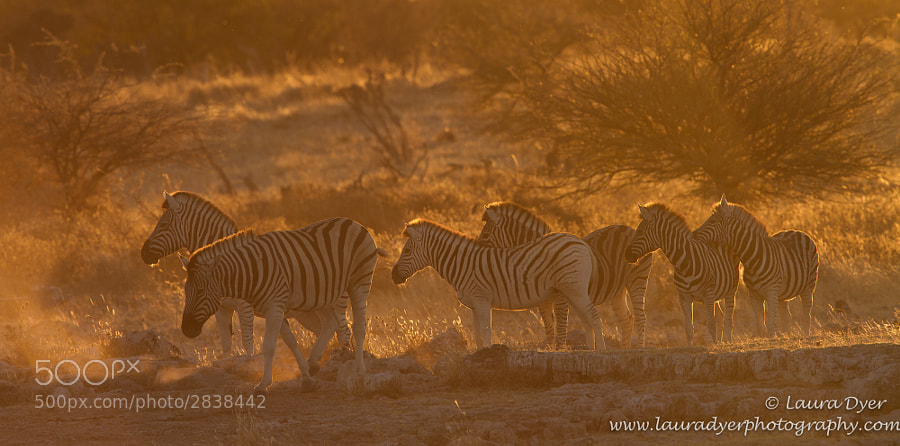 Taken in Etosha NP, a few herds of zebra came down to drink in the sunset, which lit their manes and the dust they kicked up.