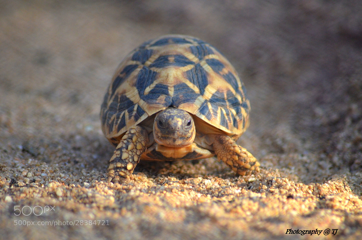 Photograph STAR TORTOISE by tejz TJ on 500px