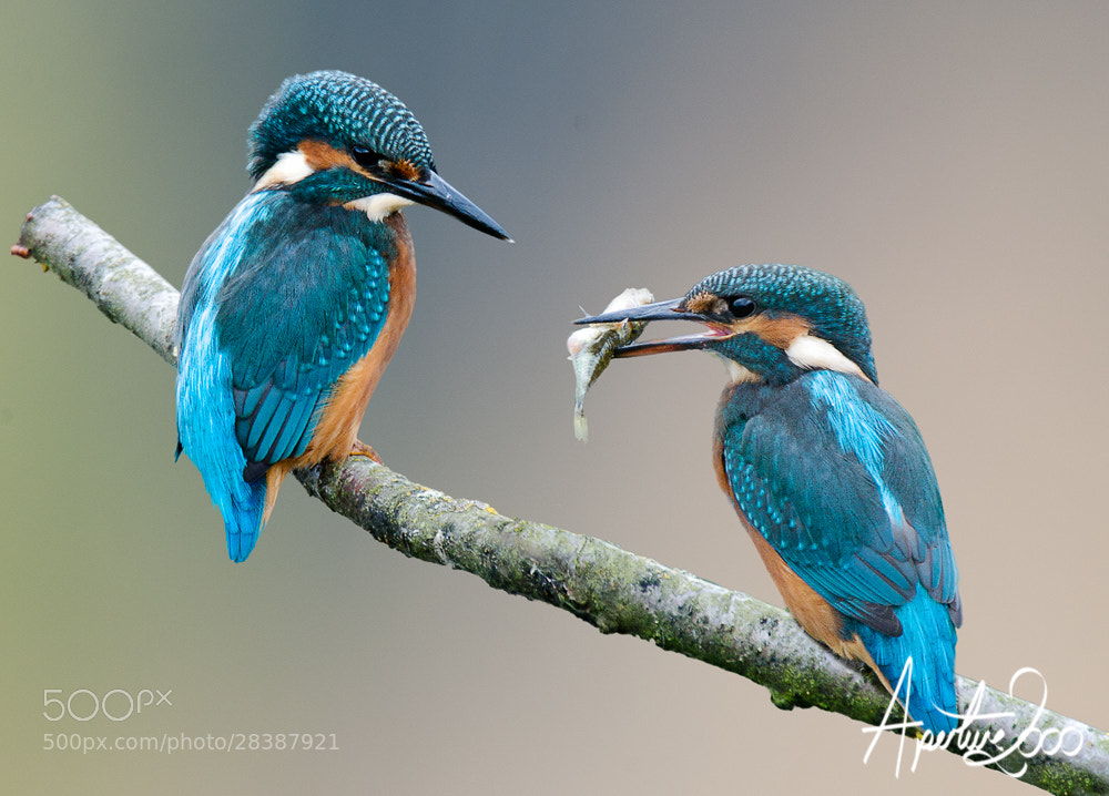 Photograph 2 Kingfishers by Colin Carter on 500px