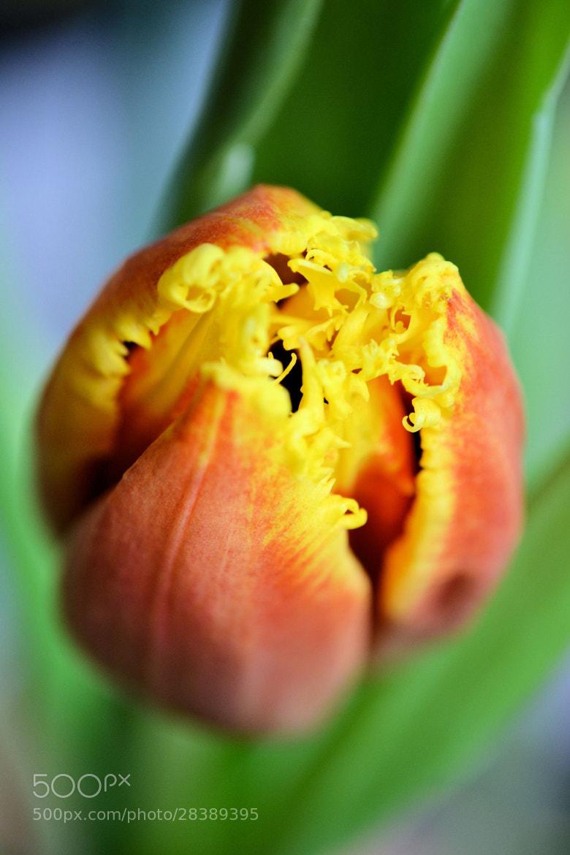 Photograph Tulip by Heather Aplin on 500px