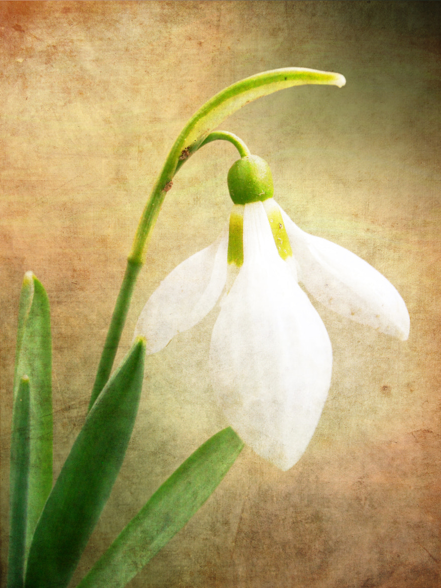 Photograph Snowdrop by Snezana Petrovic on 500px