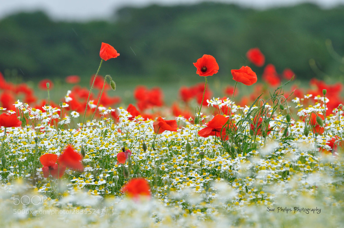Photograph Poppyfield by Sue Phelps on 500px