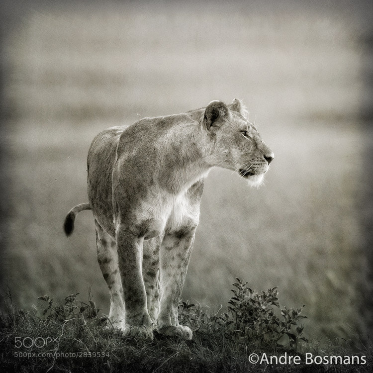 Photograph Lioness by Andre Bosmans on 500px