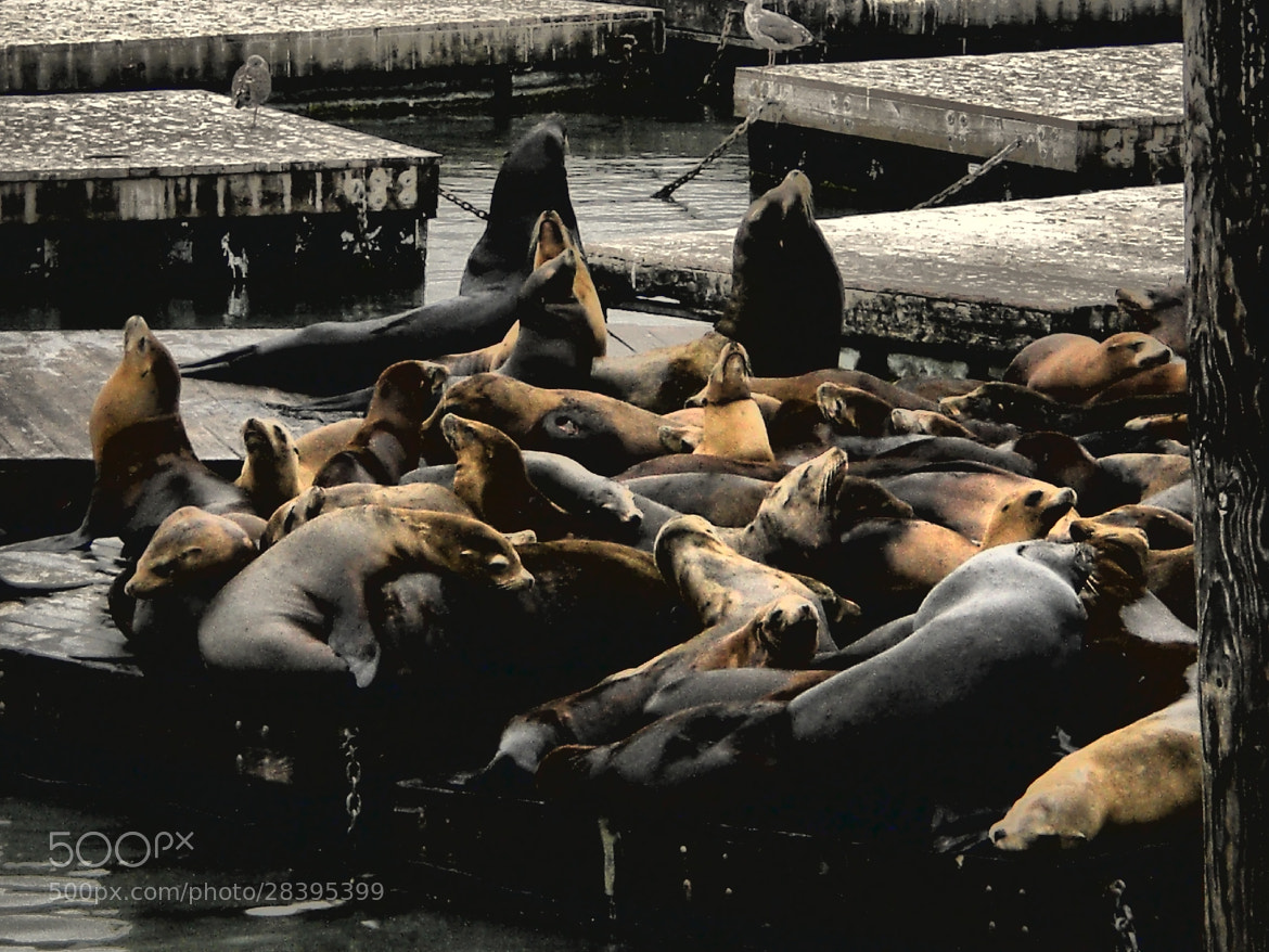 Photograph SF Seals by Alessandro Canalis on 500px