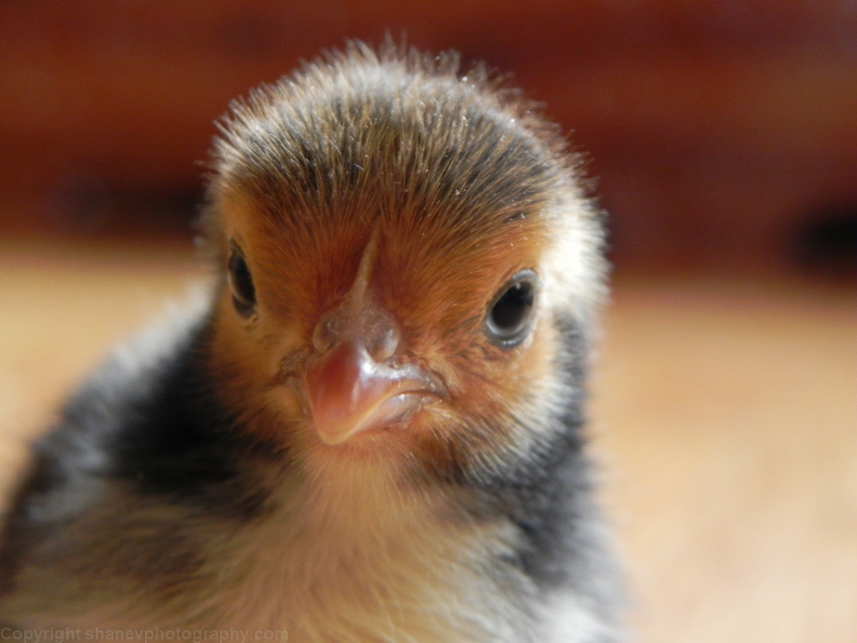 Photograph Baby Chick by Shane Viklund on 500px