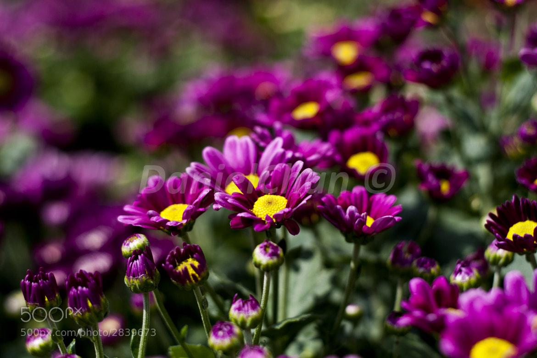 Photograph Purple Power by Daniel Chan on 500px