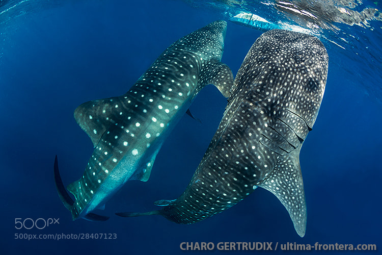 Photograph Whale sharks by Charo Gertrudix on 500px