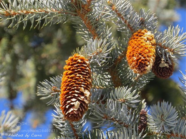 Photograph Pinecones by Carra Riley on 500px