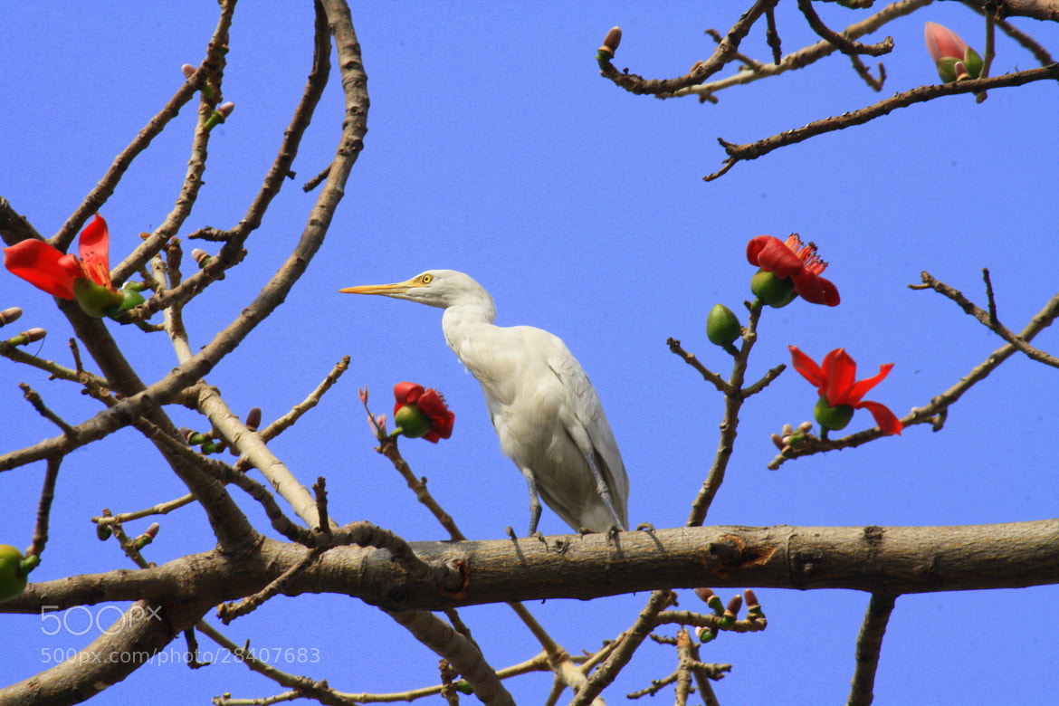 Photograph Egret on a silk cotton tree by Ajay Kumar on 500px