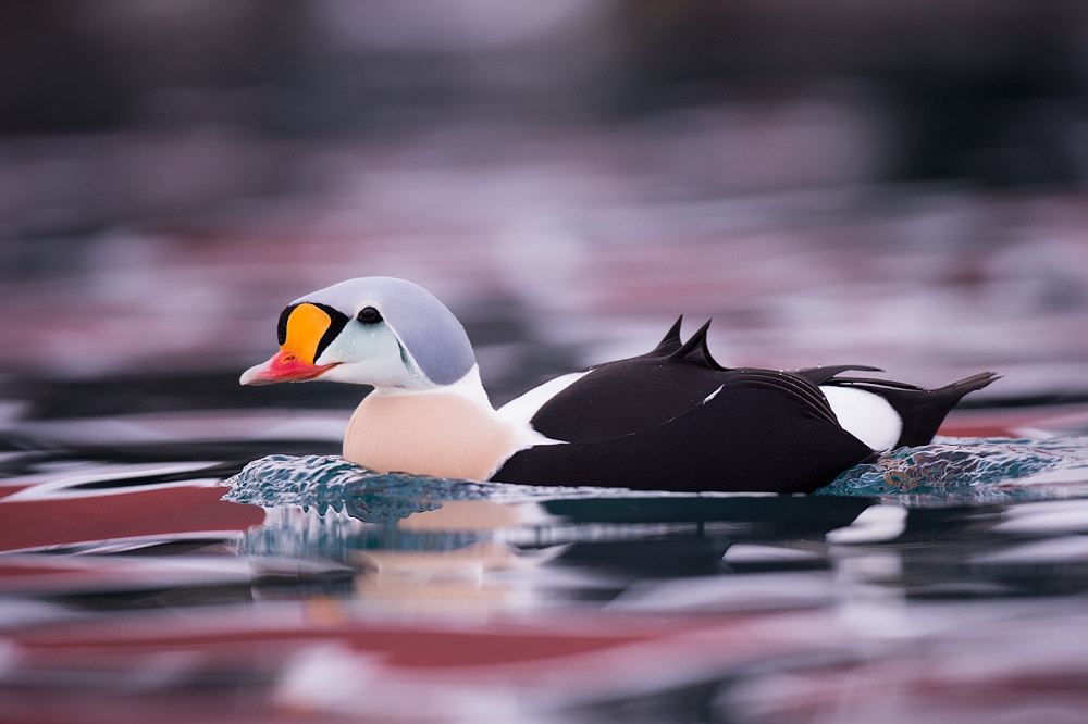 Photograph King Eider by Edwin Kats on 500px