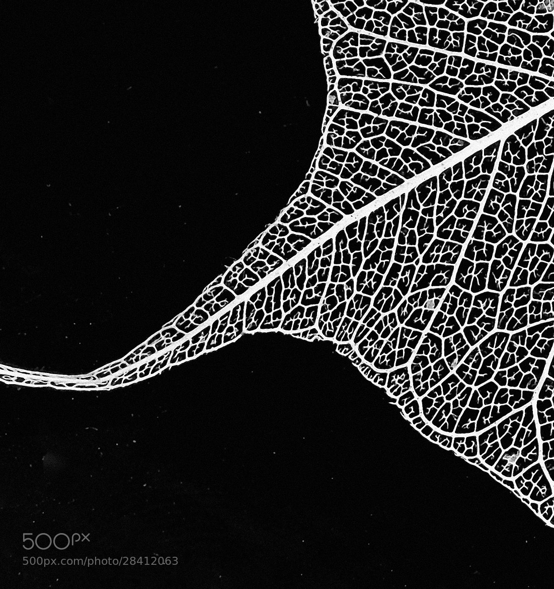 Photograph Leaf Skeleton L1 by Steve Lewis  on 500px
