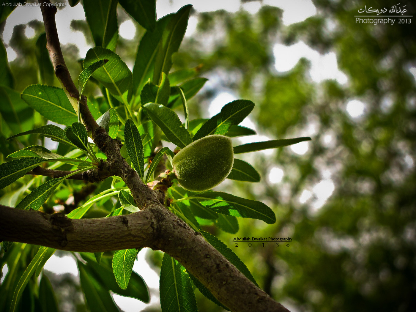 Photograph Green Almonds by Abdullah Dwaikat on 500px