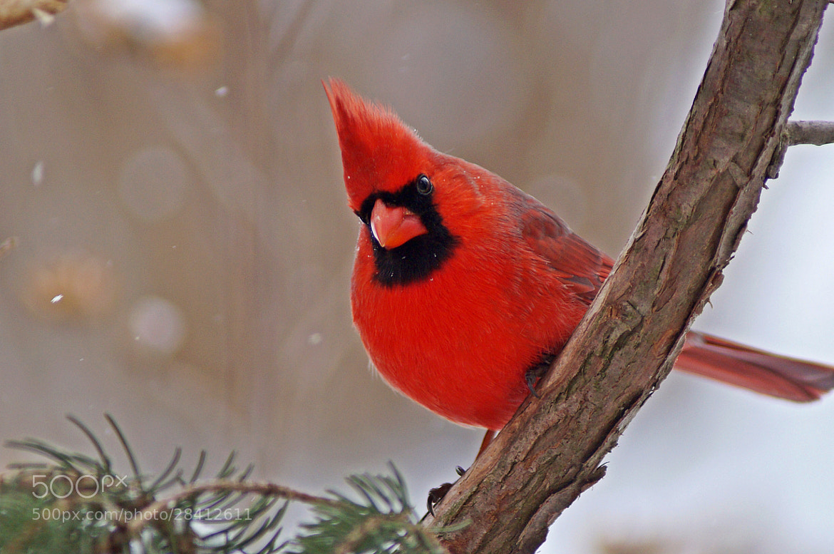 Photograph Male Northern Cardinal by cherylorraine smith on 500px