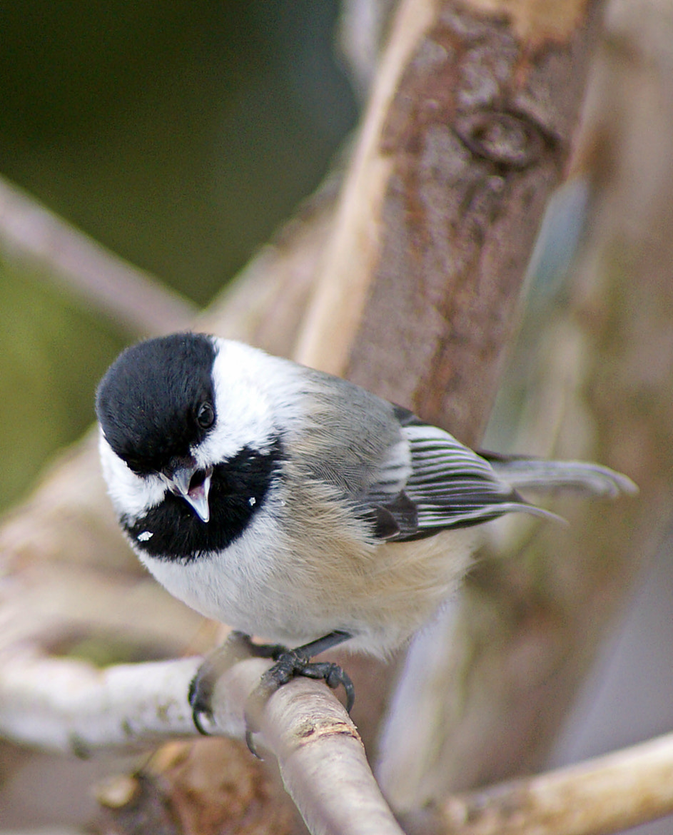 Photograph Singing Chickadee by Cherylorraine Smith on 500px