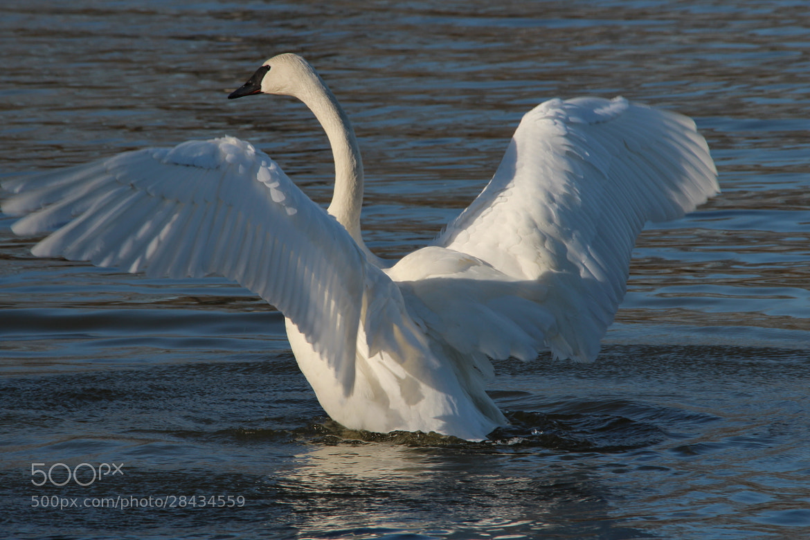 Photograph Trumpeter Swan - Heber Springs, AR by Mike Fry on 500px