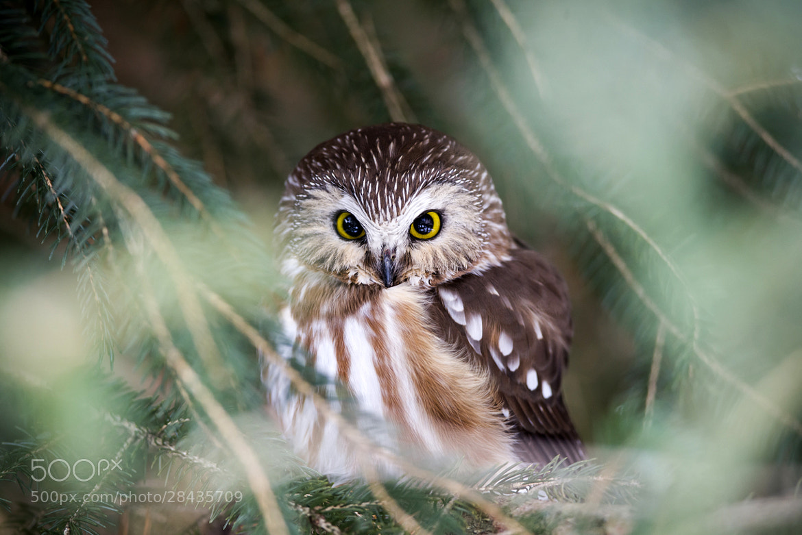 Photograph Norther Saw-Whet owl by Justin Russo on 500px