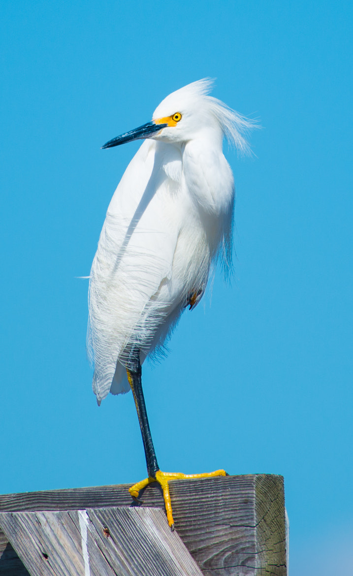 Photograph Snowy Egret by Franklin Abbott on 500px