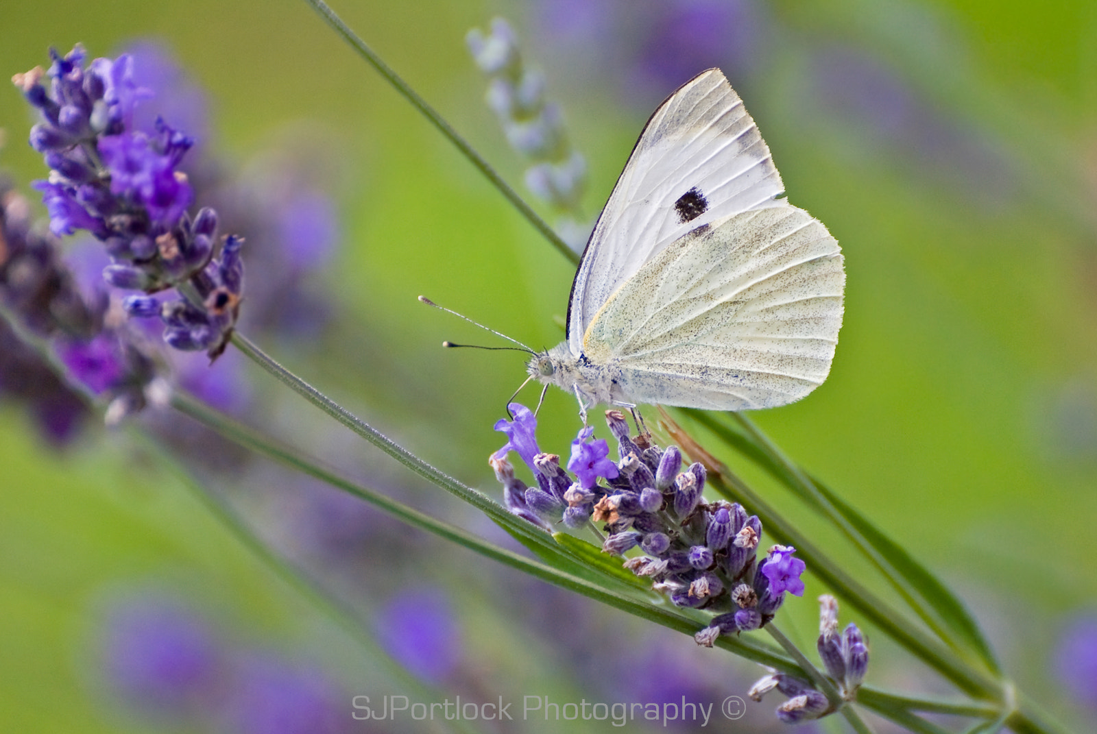 Photograph Small White  by Stephen Portlock on 500px