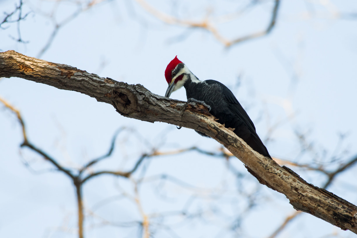 Photograph Pileated Woodpecker by Justin Russo on 500px