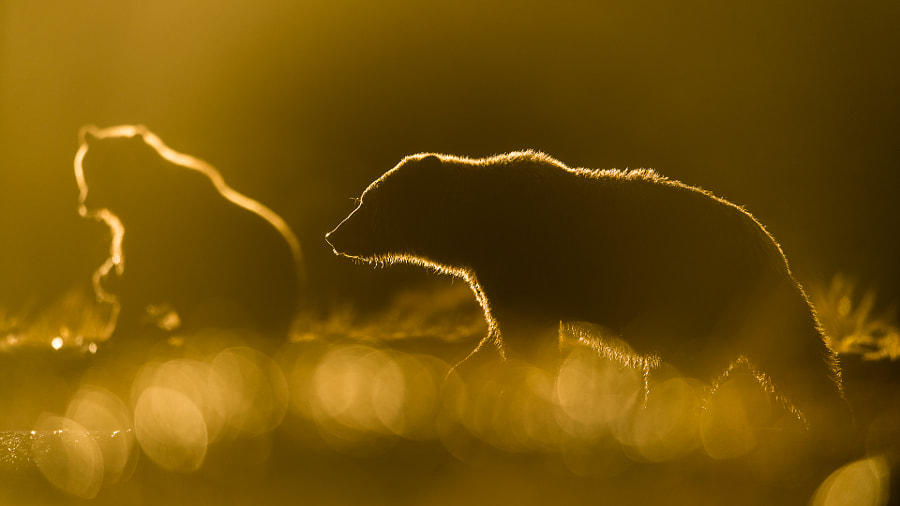 Brown bears in backlight by Roy Mangersnes on 500px.com