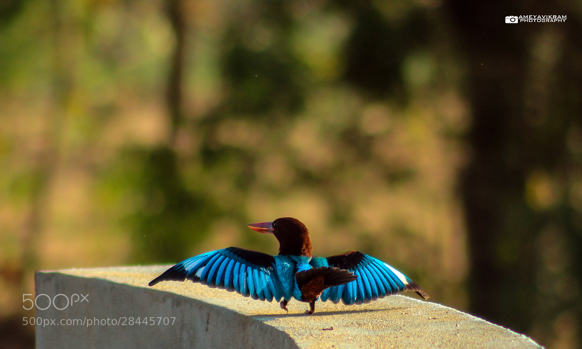 Photograph Kingfisher - The walk of life by Ameyavikram Mahalingashetty on 500px