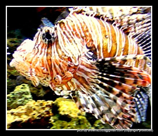 Photograph lion fish by Brenda Wright on 500px