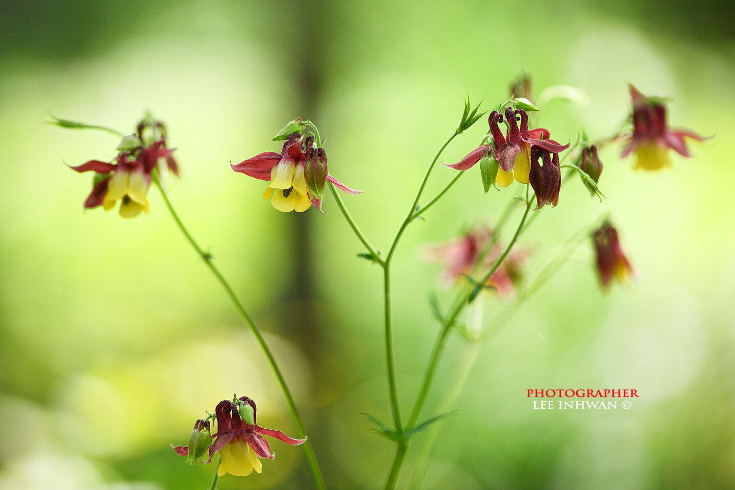 Photograph Columbine by LEE INHWAN on 500px