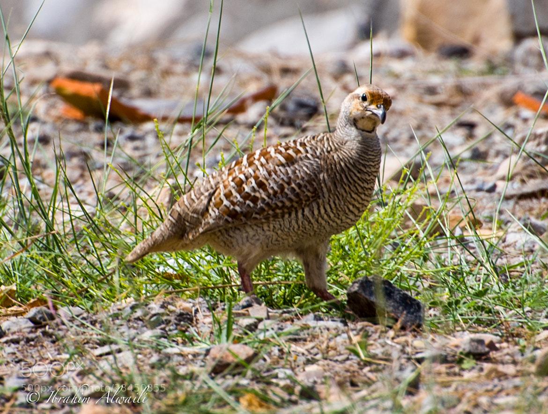 Photograph Wild bird by Ibrahim AlWaili on 500px