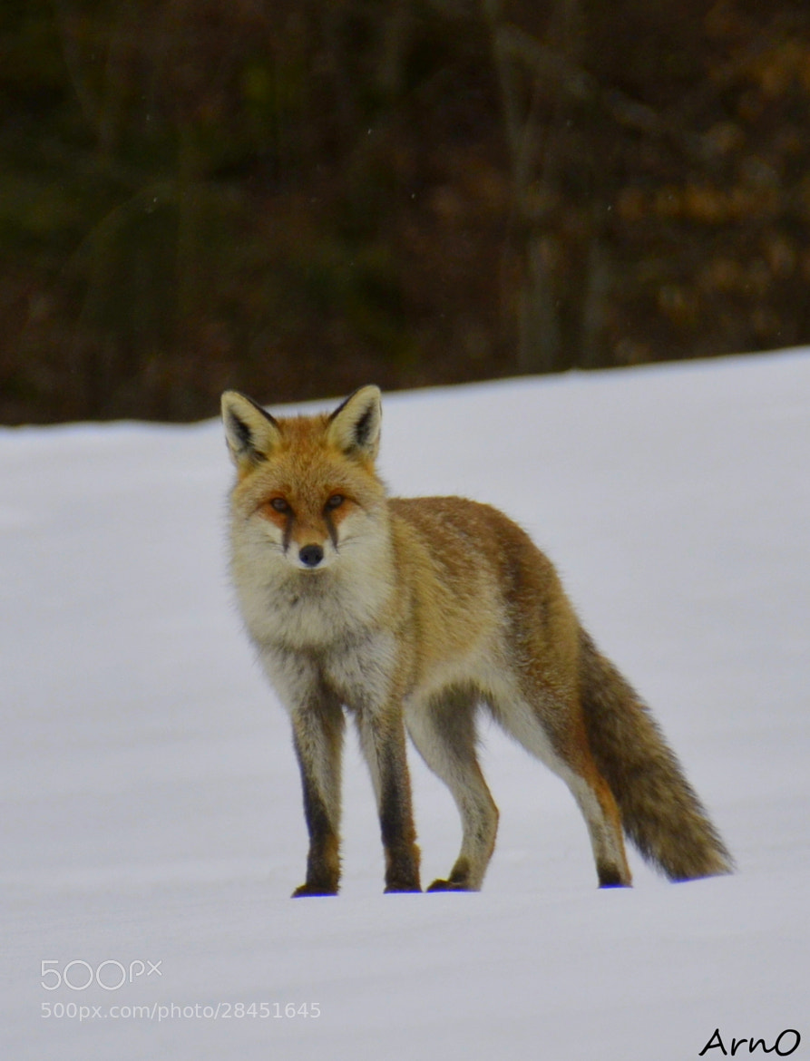 Photograph Portrait renard by Arnaud CHATEL on 500px