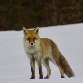 Portrait renard by Arnaud CHATEL (ArnOo)) on 500px.com
