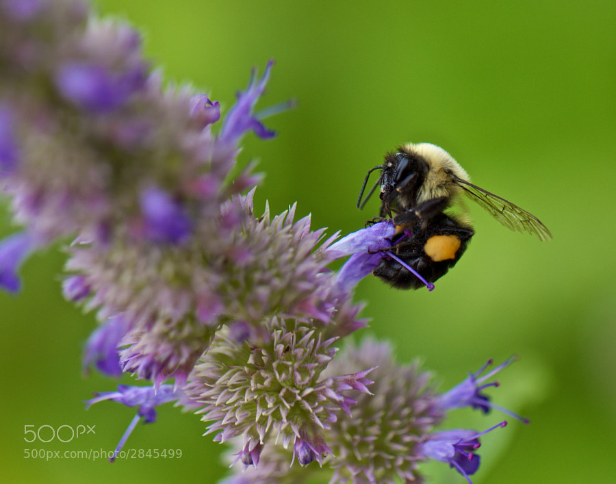 Bee With Pollen on Legs 2