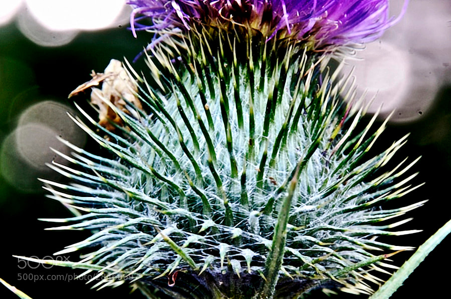 Photograph Thistle Head Q1 by Steve Lewis  on 500px