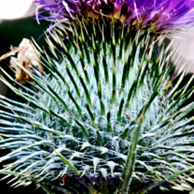 Thistle Head Q1 by Steve Lewis  (Steve-Martin-Lewis)) on 500px.com