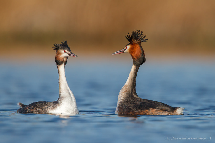 Photograph Great grested grebe by Walter Soestbergen on 500px
