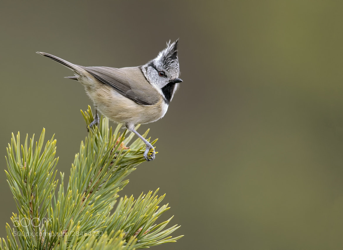 Photograph Crested Tit (Lophophanes cristatus) by Sylvia Fresson on 500px