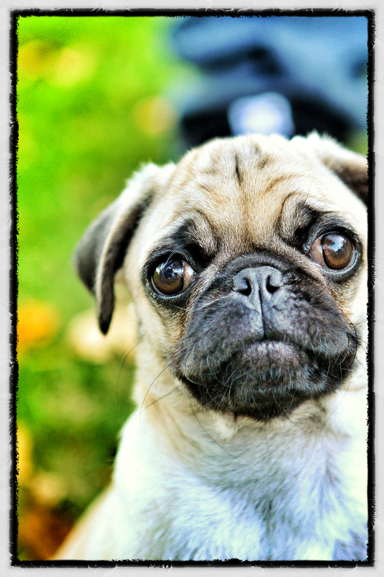 Photograph Pug by James Rossiter on 500px