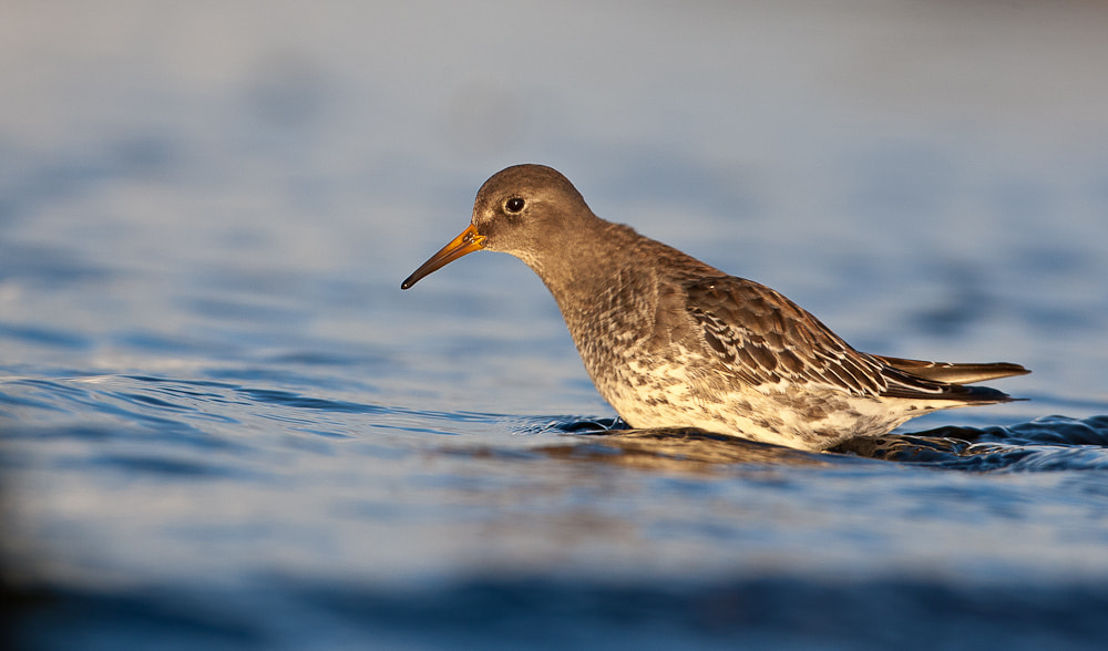 Photograph Purple Sandpiper, an early winter morning by Geir  Jensen on 500px