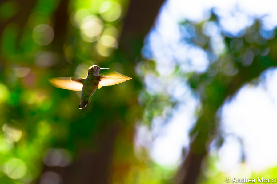 Hovering Hummingbird by Andrea Mocci on 500px.com