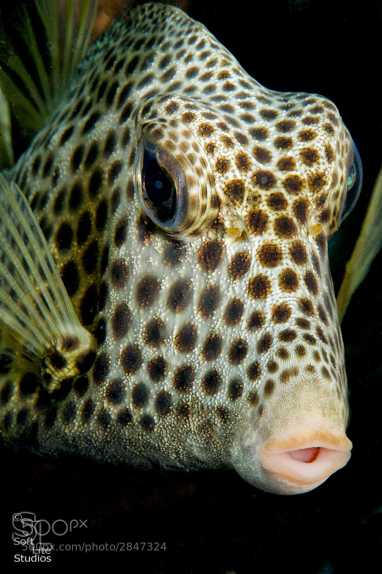 Photograph Spotted Trunkfish by Tim Neumann on 500px