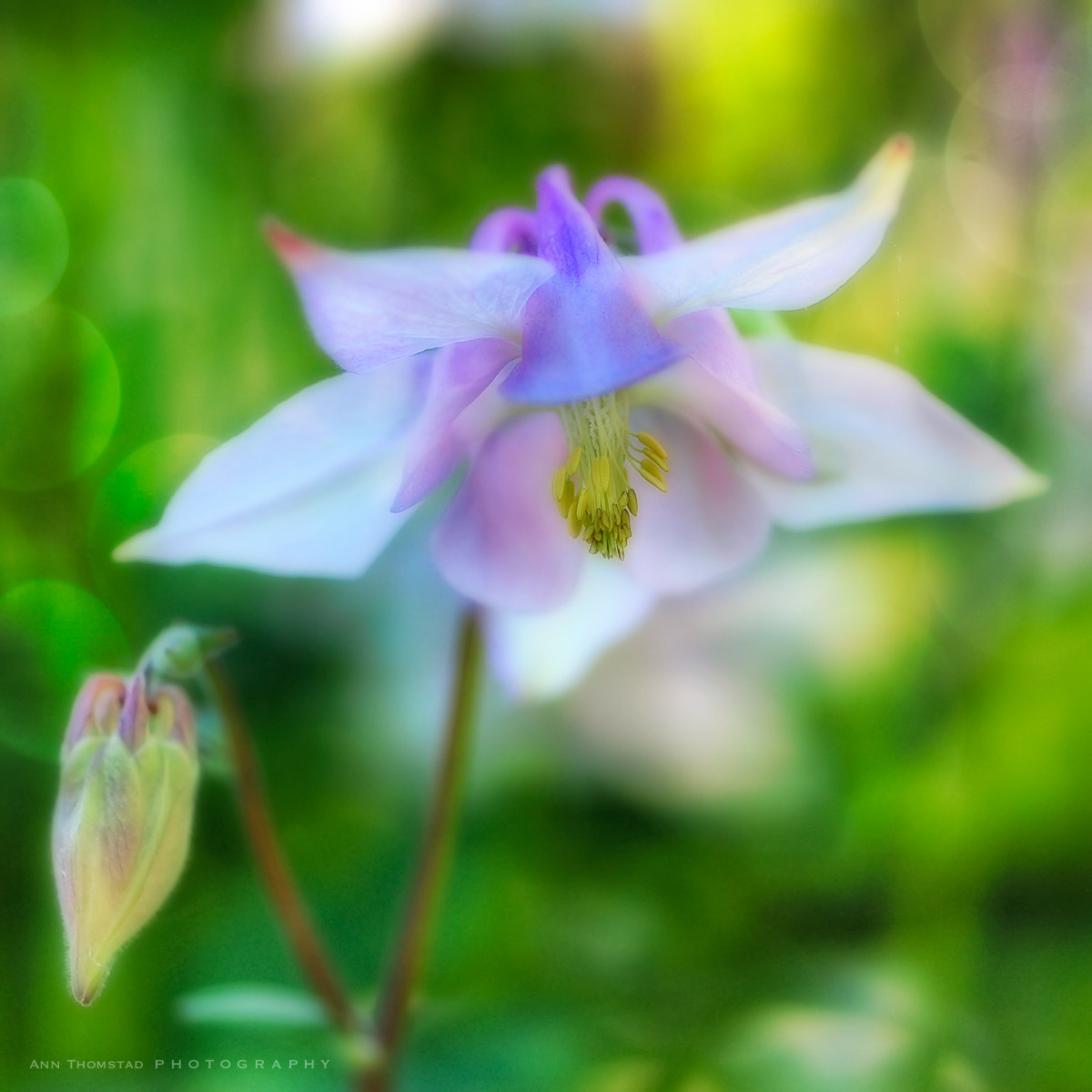Photograph Aquilegia by Ann Thomstad on 500px