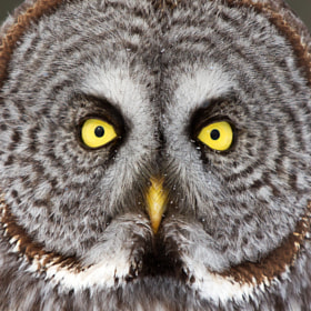 Great Grey Owl Closeup