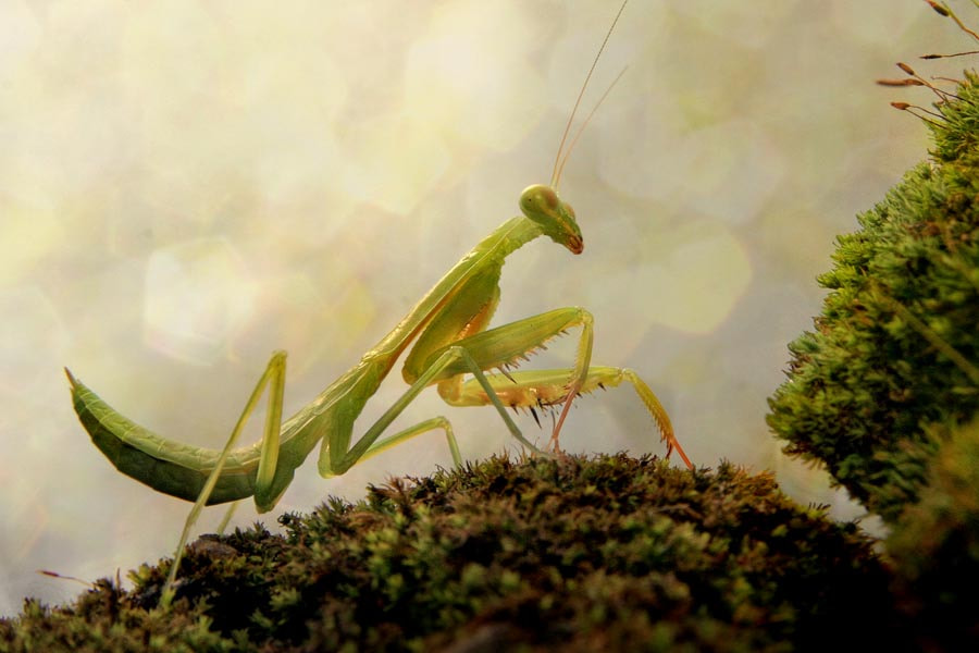 Photograph morning mantis by budi 'ccline' on 500px