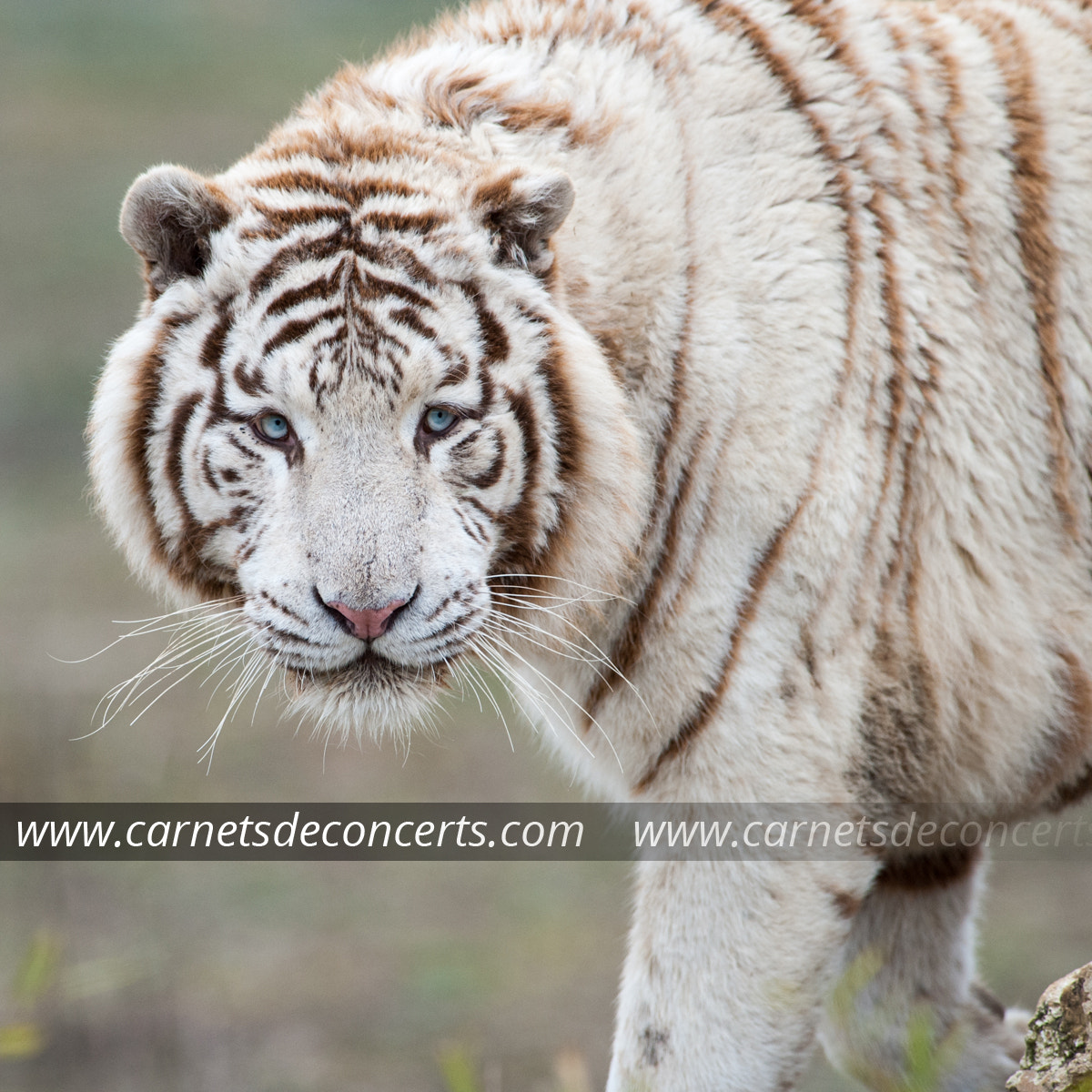 Photograph White tiger by Arnault Serrière on 500px