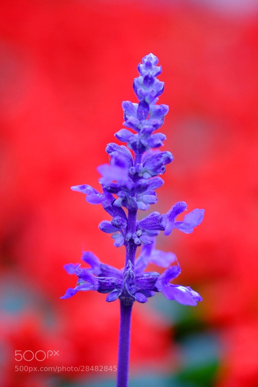 Photograph Lavender by Eddie Lau on 500px