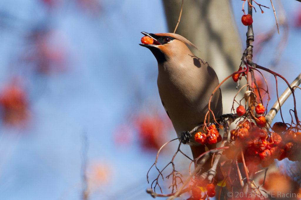 Photograph Waxwing with Berry by Ron E Racine on 500px