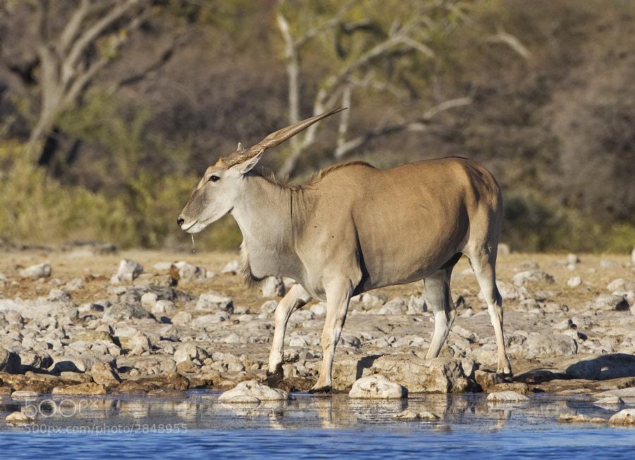Slaking his thirst at Klein Namutoni, Etosha NP, Namibia, 29th June 2011