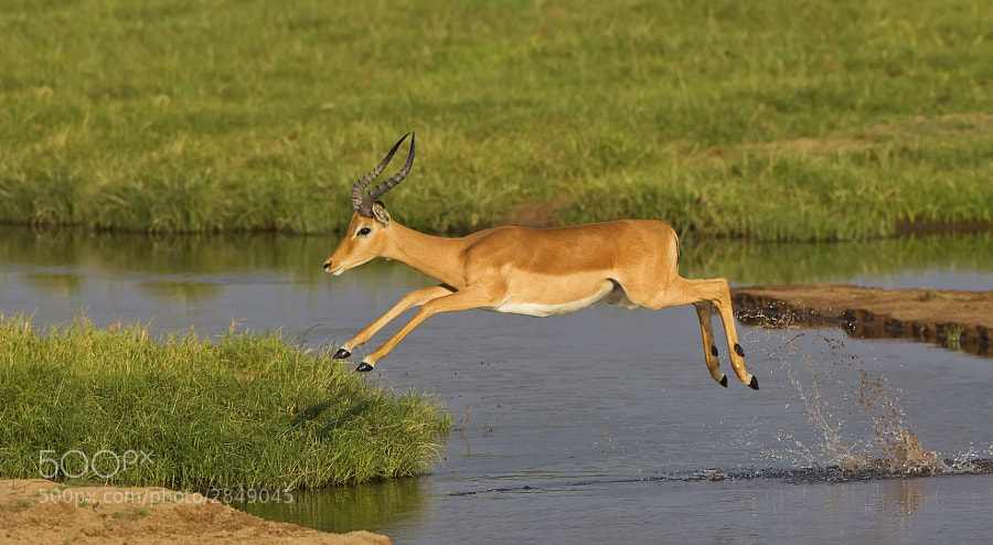 An Impalla near to touch down, taken in Ruaha National Park, Tanzania, 5th September 2010