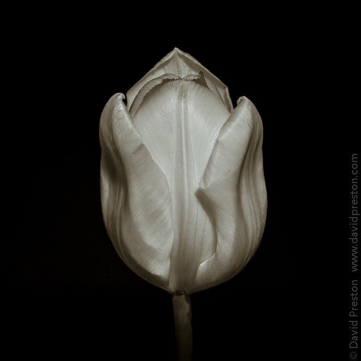 Photograph Tulip, black and white study by David Preston on 500px