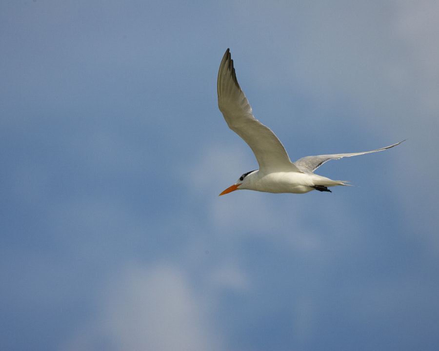 A skimmer in flight
