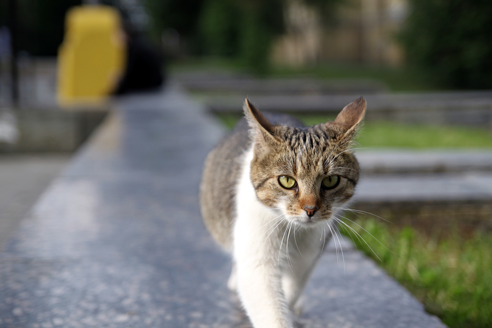 Photograph Walking Cat by Oleh Horen on 500px